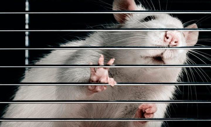 rato de laboratorio - Estudo comprova que smartphones causam câncer? Só em ratos, por enquanto