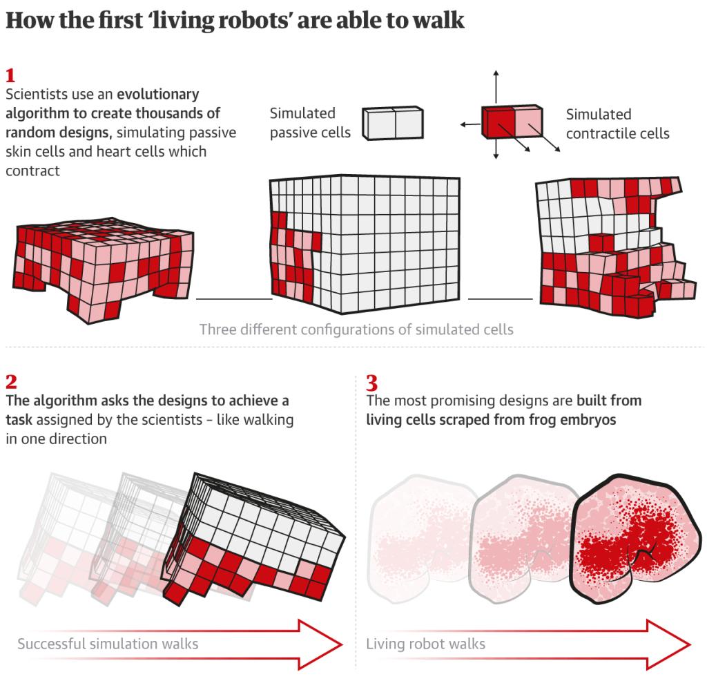 Xenobot, os primeiros robôs vivos