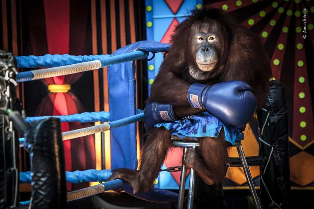 Na imagem, um orangotando está com expressão séria e sentado em um pequeno banco ao lado das cordas de um ringue.