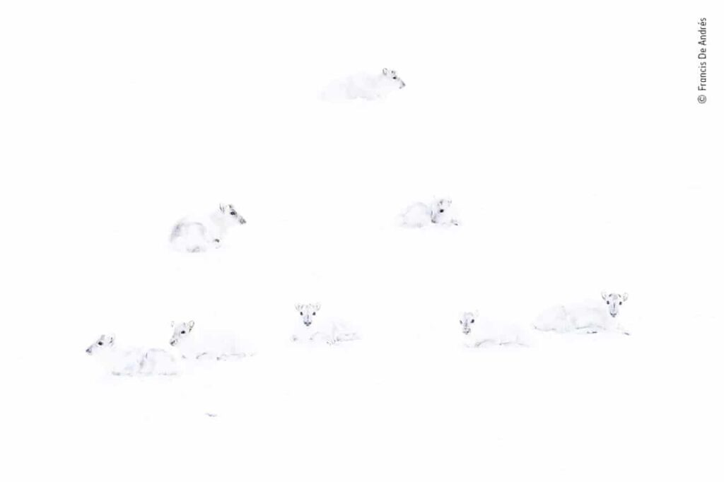 Há sete animais na imagem, mas é difícil distinguir as espécies porque são todos muito brancos e eles estão em um ambiente totalmente branco de neve.