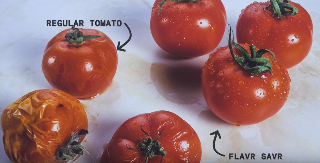 Seis tomates. Três murchos, comuns, e três novos geneticamente alterados.