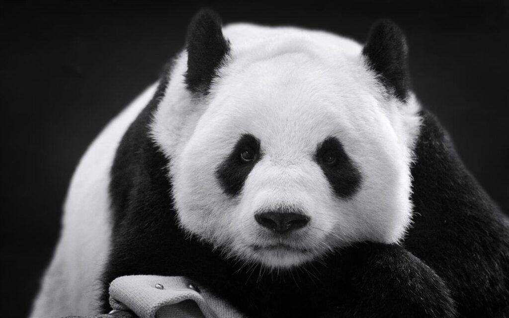 Pandas-gigantes e pandas-vermelhos vivem em harmonia neste conjunto de 16 imagens grátis.