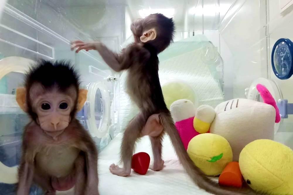 Cientistas chineses clonam os primeiros macacos
